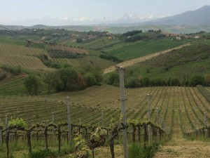 Organic vineyard in Castroano, Marche